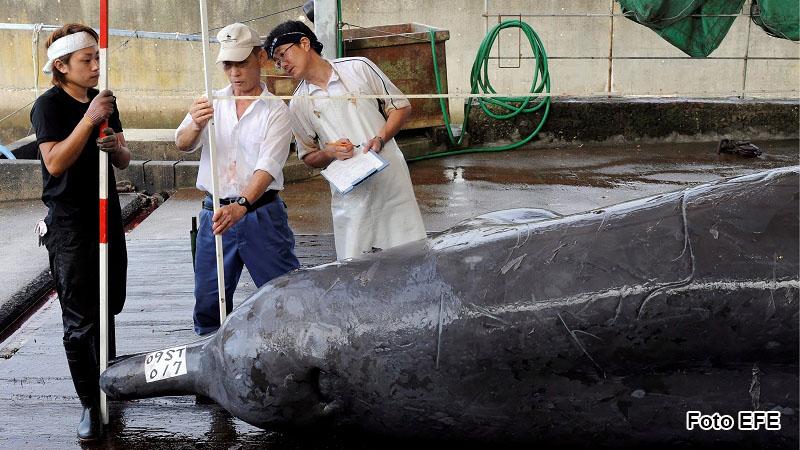 Pescadores miden y pesan un ejemplar muerto de zifio de Baird (Berardius bairdii), en el Puerto de Wada, Japón, tras ser capturado en alta mar.